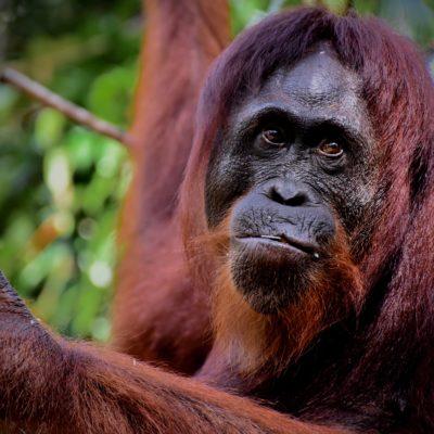 Orangutany z  Borneo